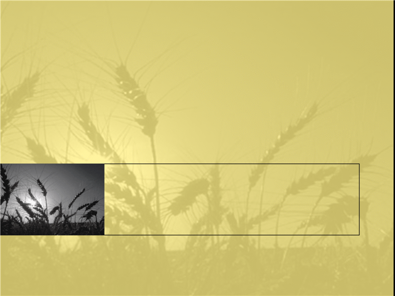 قالب تصميم حقل القمح
