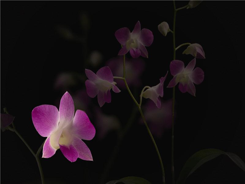 Animated floating petals on presentation slide