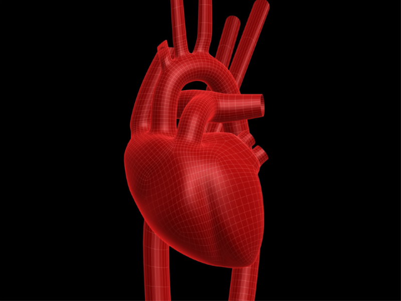 Thème santé - Anatomie coeur gros plan