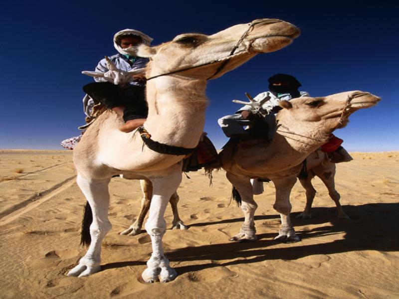 Thème désert - Dromadaires