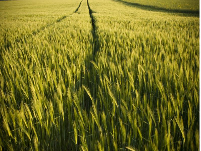 Thème campagne - Champ de blé