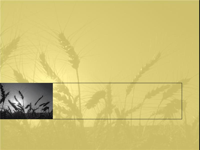 Predložak dizajna polja pšenice