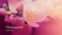 Naturpresentasjon med kirsebærblomstring (bredformat)